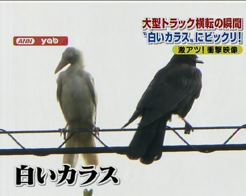 A white crow in Japan
